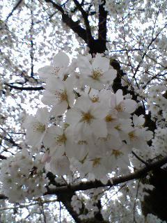 桜@2006